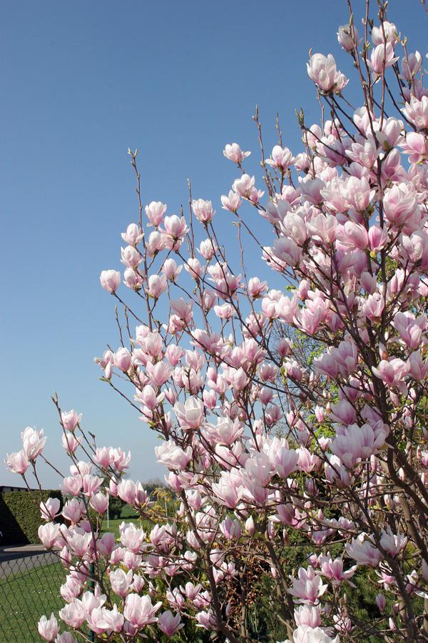 magnolien-1