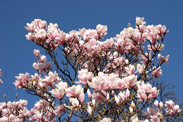 magnolien-2