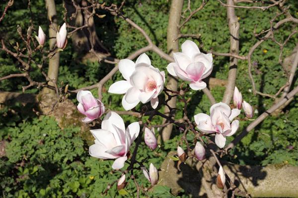 magnolien-3